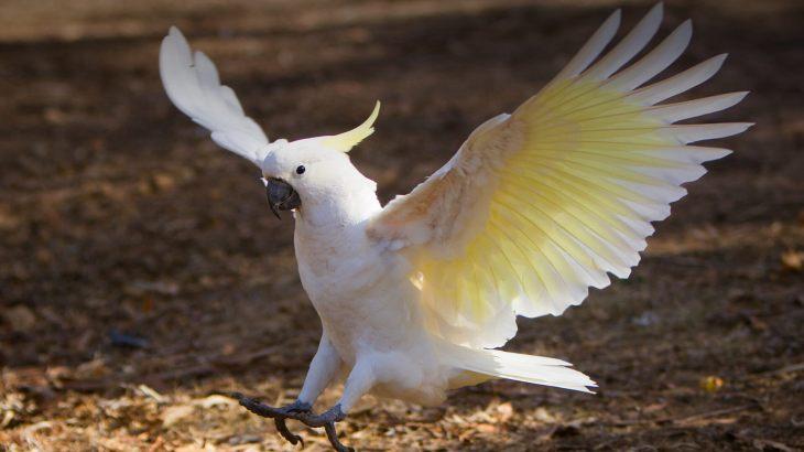 animals_hero_cockatoo