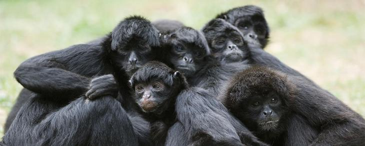 black-spider-monkey-ARTICLE-PAGE