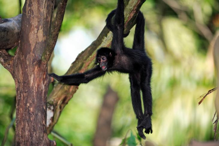 black-spider-monkey-FRONT-PAGE