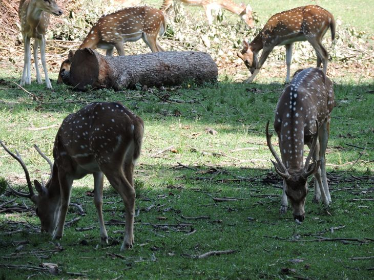 Chital_or_Spotted_Deer