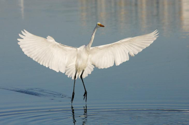 Great Egret m17-70-219_V