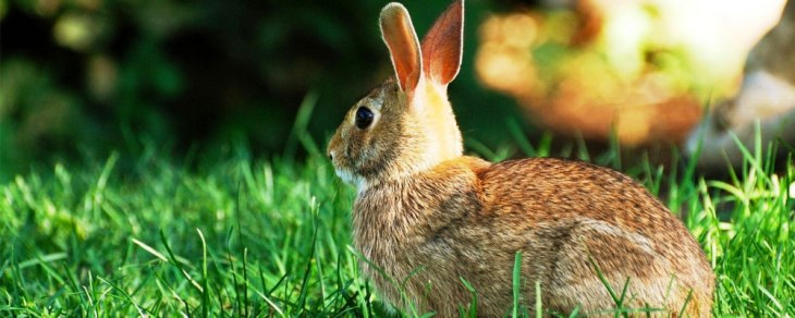 rabbit-featured