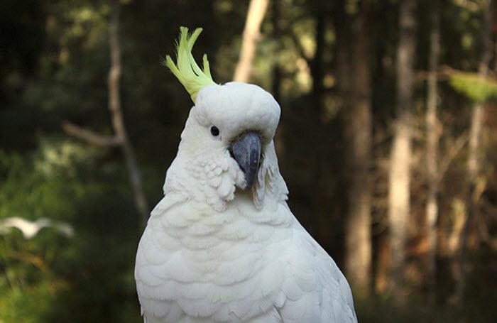 white-cockatoo